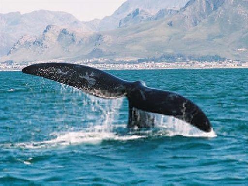 Whale Hermanus